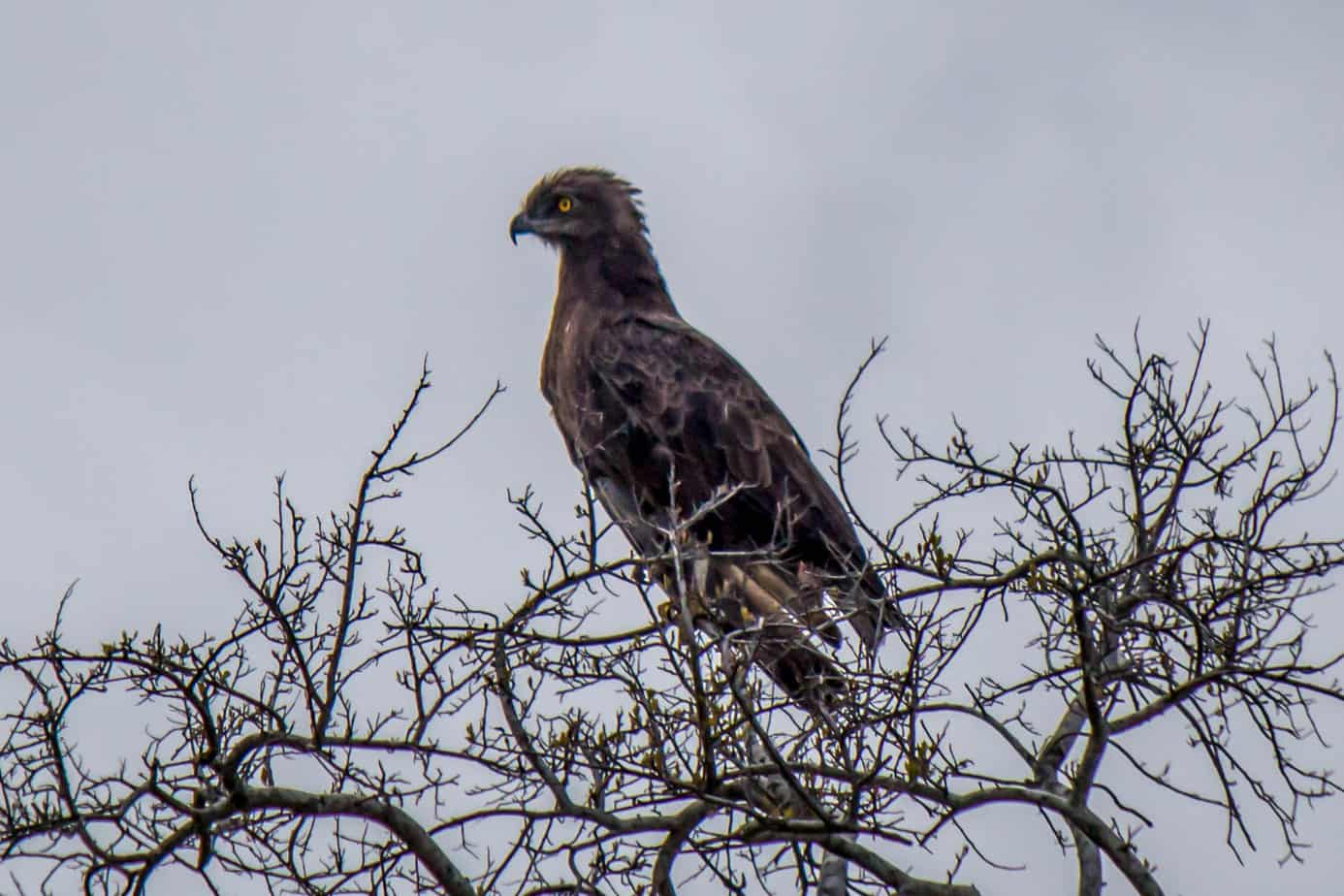 Brown Snake Eagle @ Tembe Elephant Park. Photo: Håvard Rosenlund