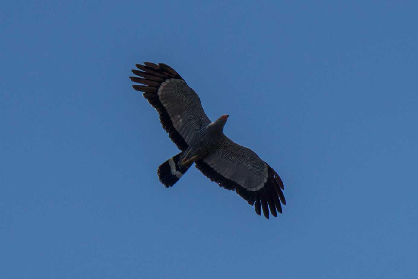 African Harrier-Hawk3