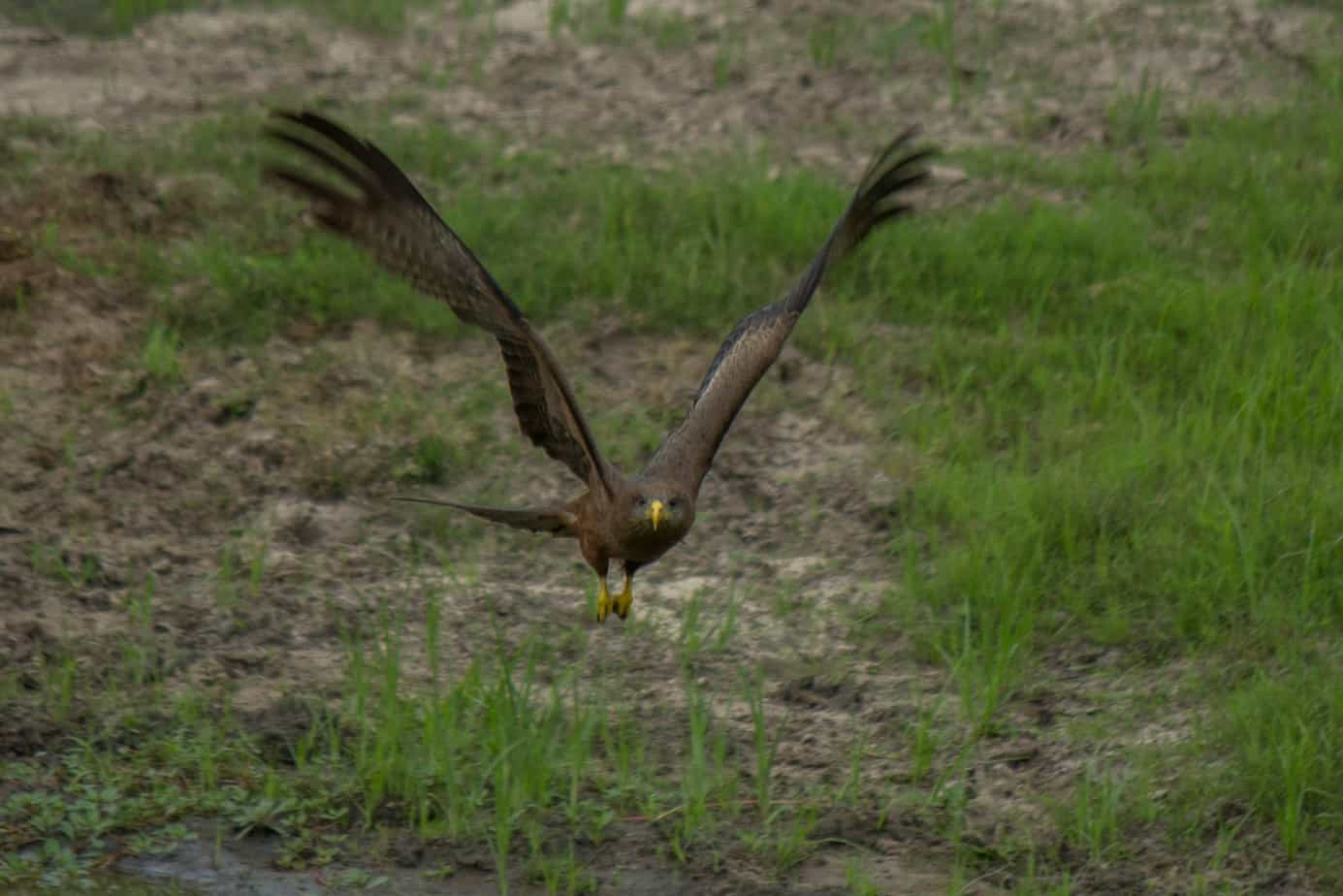 Yellow-Billed Kite7