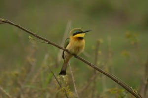 Little Bee-Eater @ Tembe Elephant Park. Photo: Håvard Rosenlund