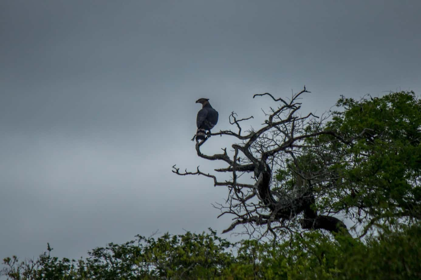 Crowned Eagle1