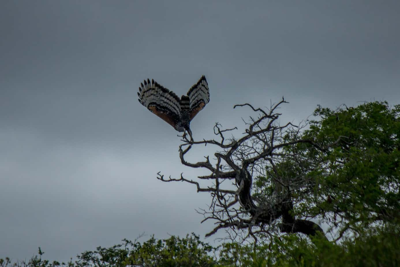 Crowned Eagle3