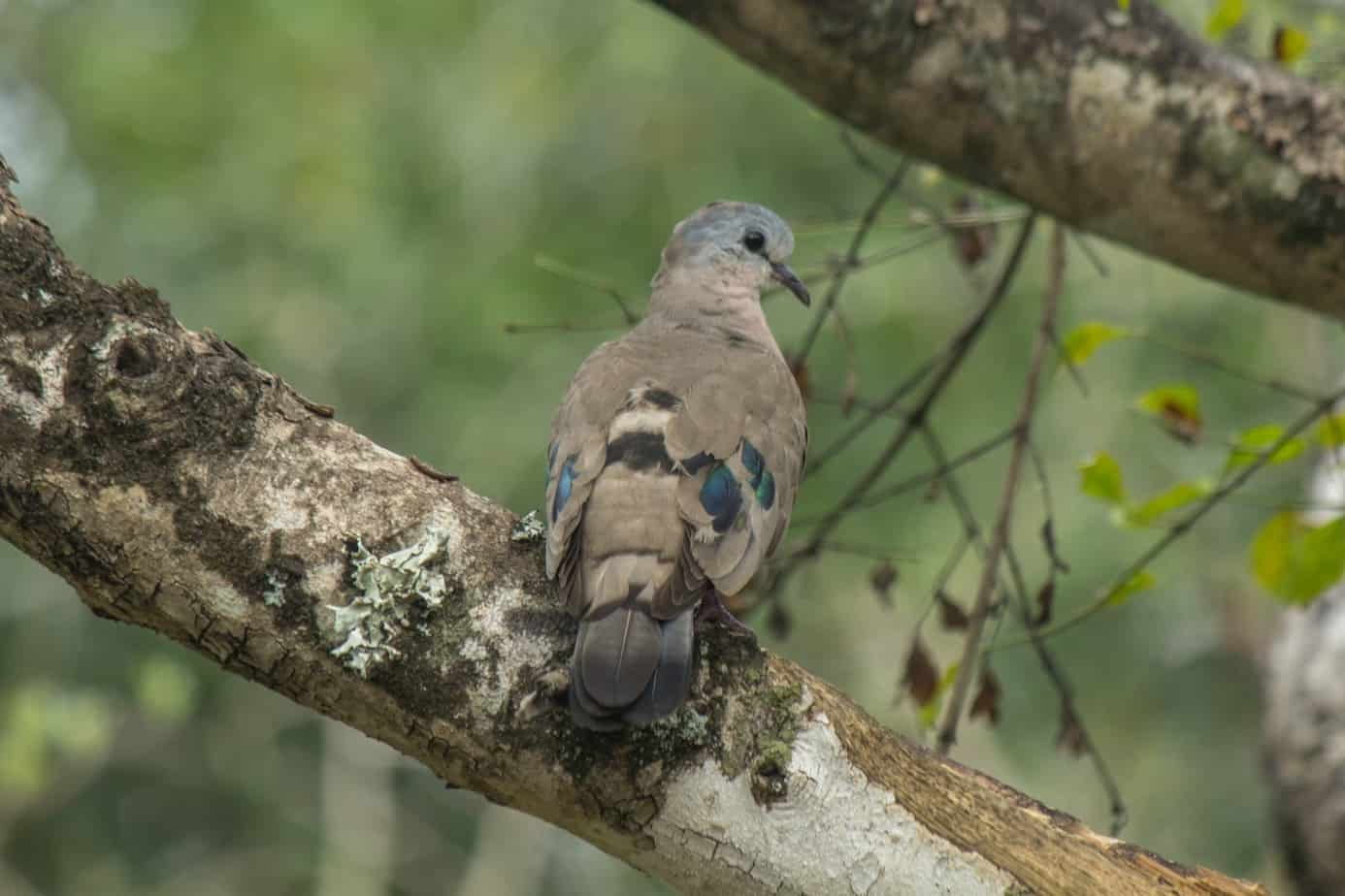 Emerald-Spotted Wood Dove1