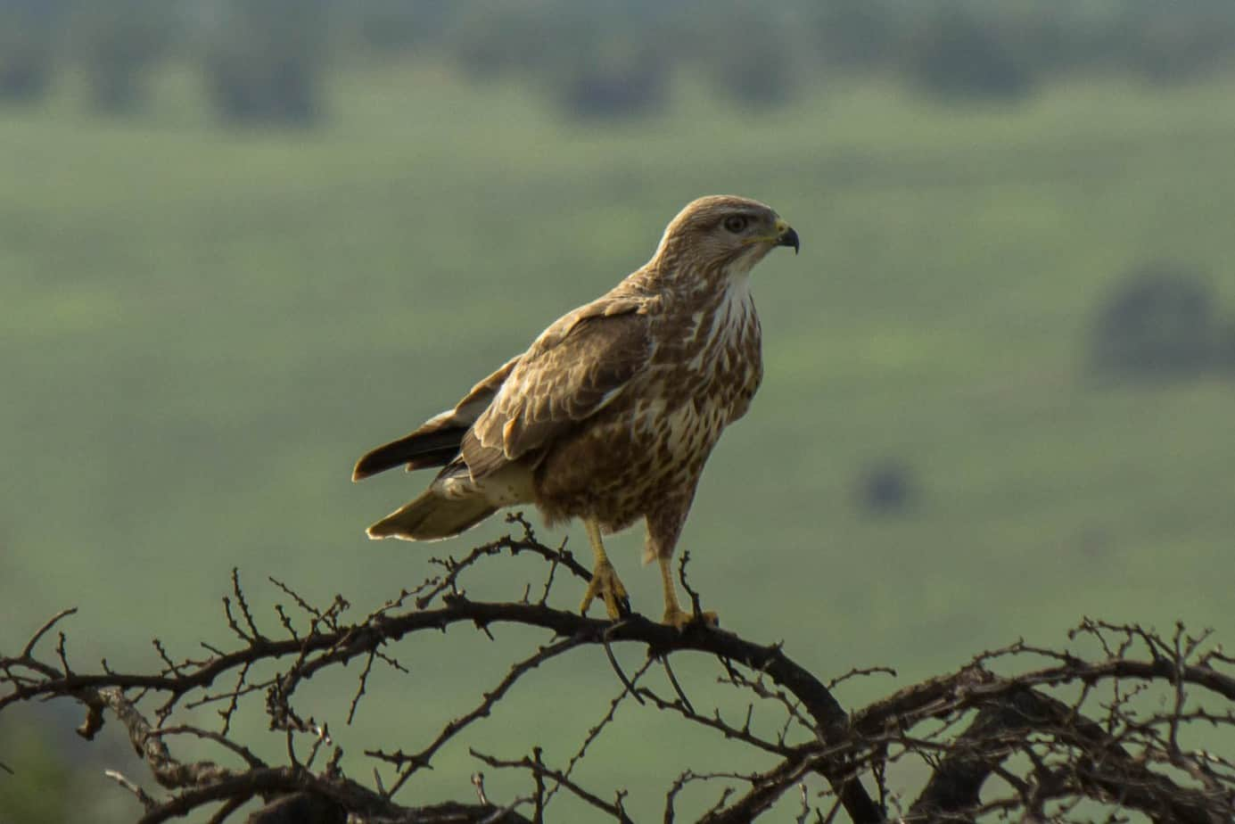 steppe buzzard wildlife vagabond