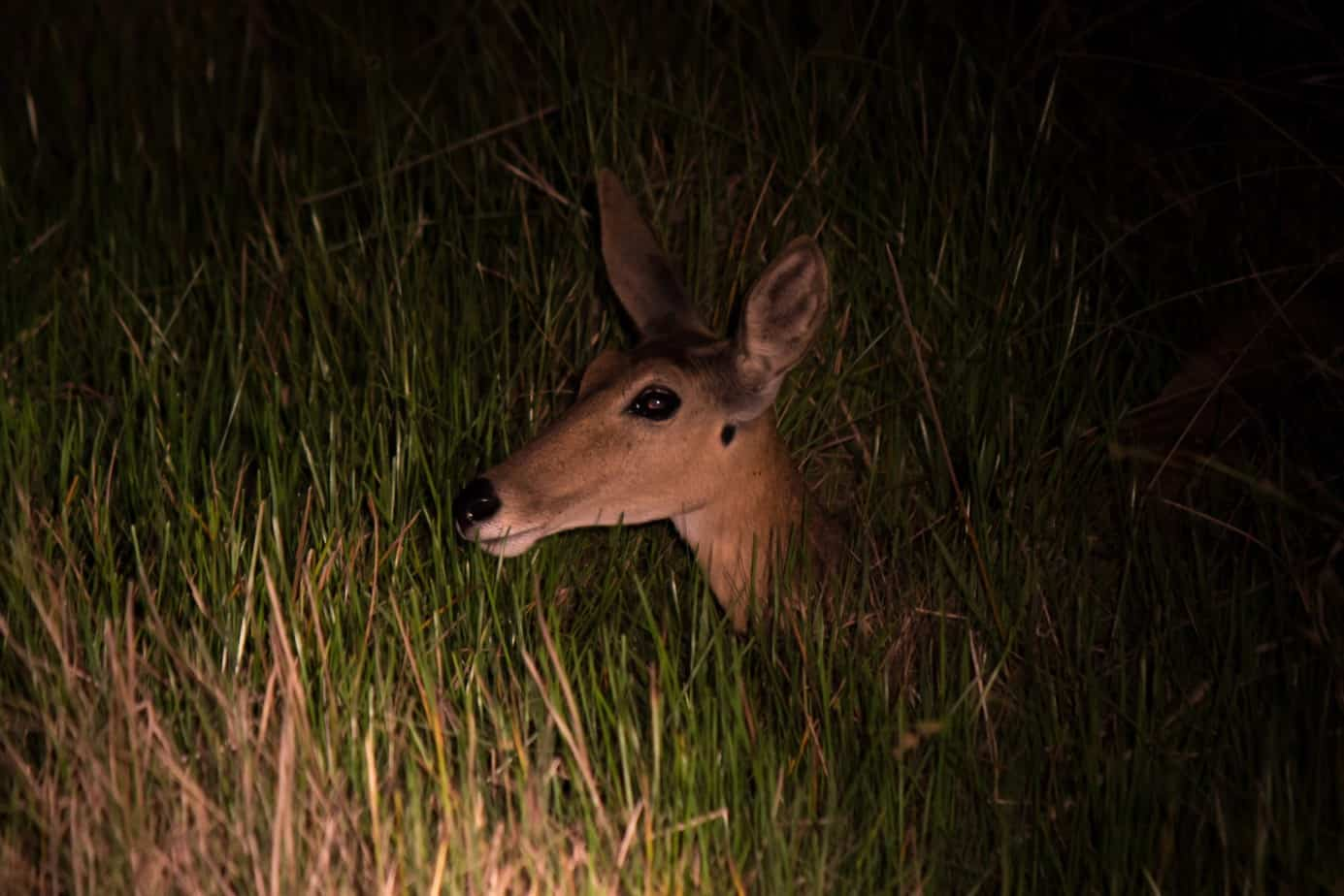 Southern Reedbuck2