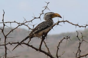 Southern Yellow-Billed Hornbill @ Hluhluwe-iMfolozi Park. Photo: Håvard Rosenlund