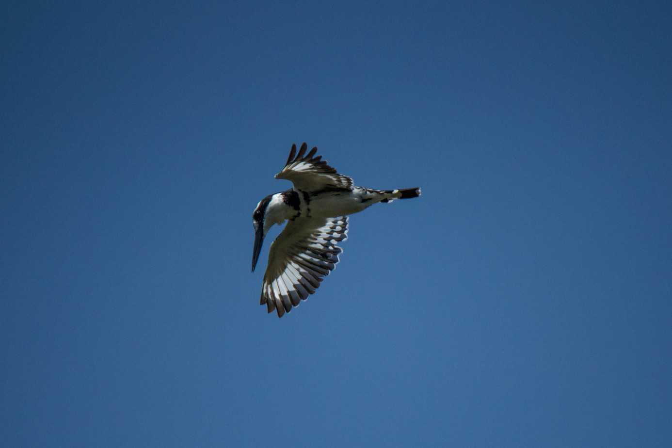 Pied Kingfisher1