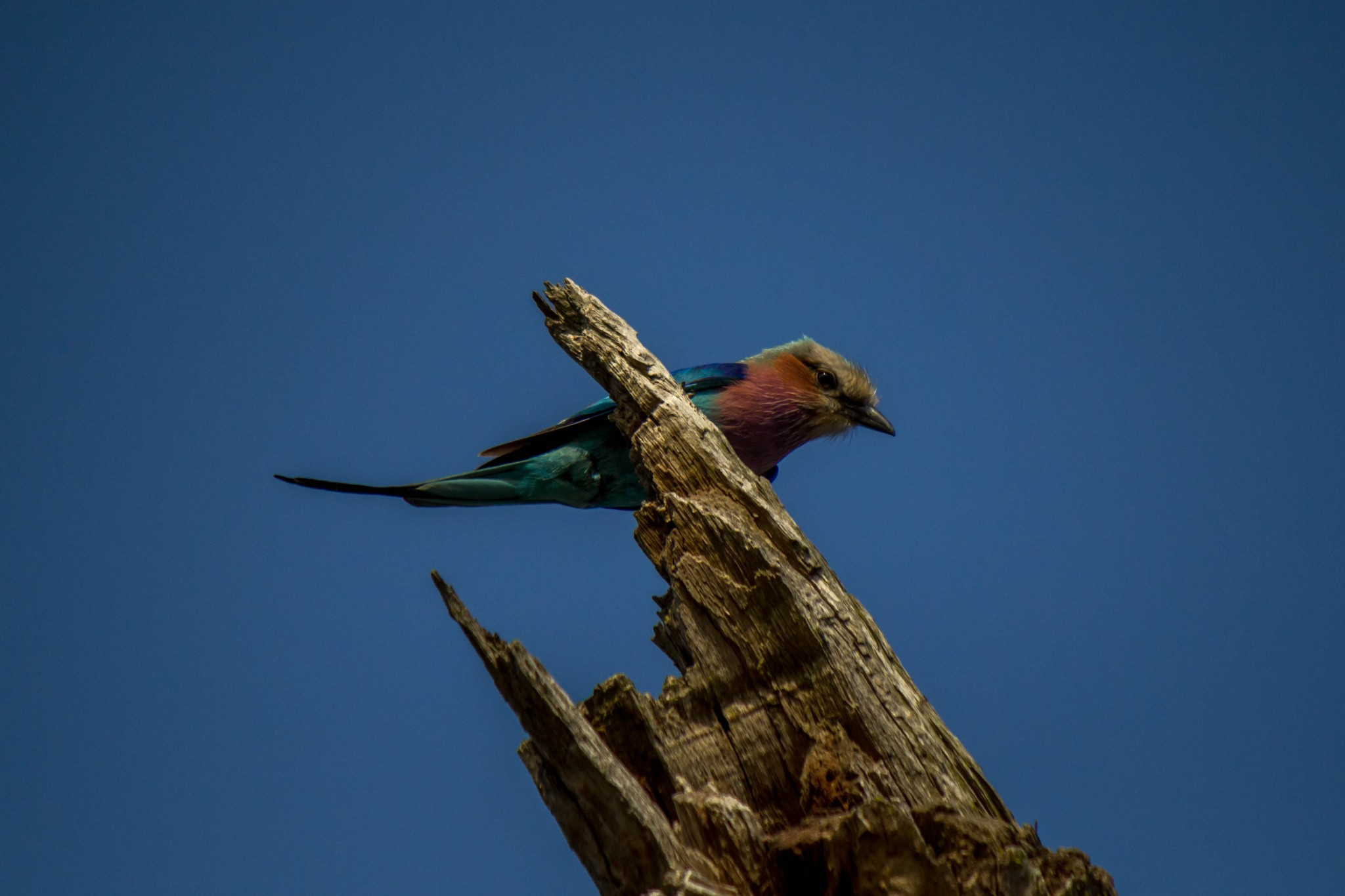 Lilac-Breasted Roller6