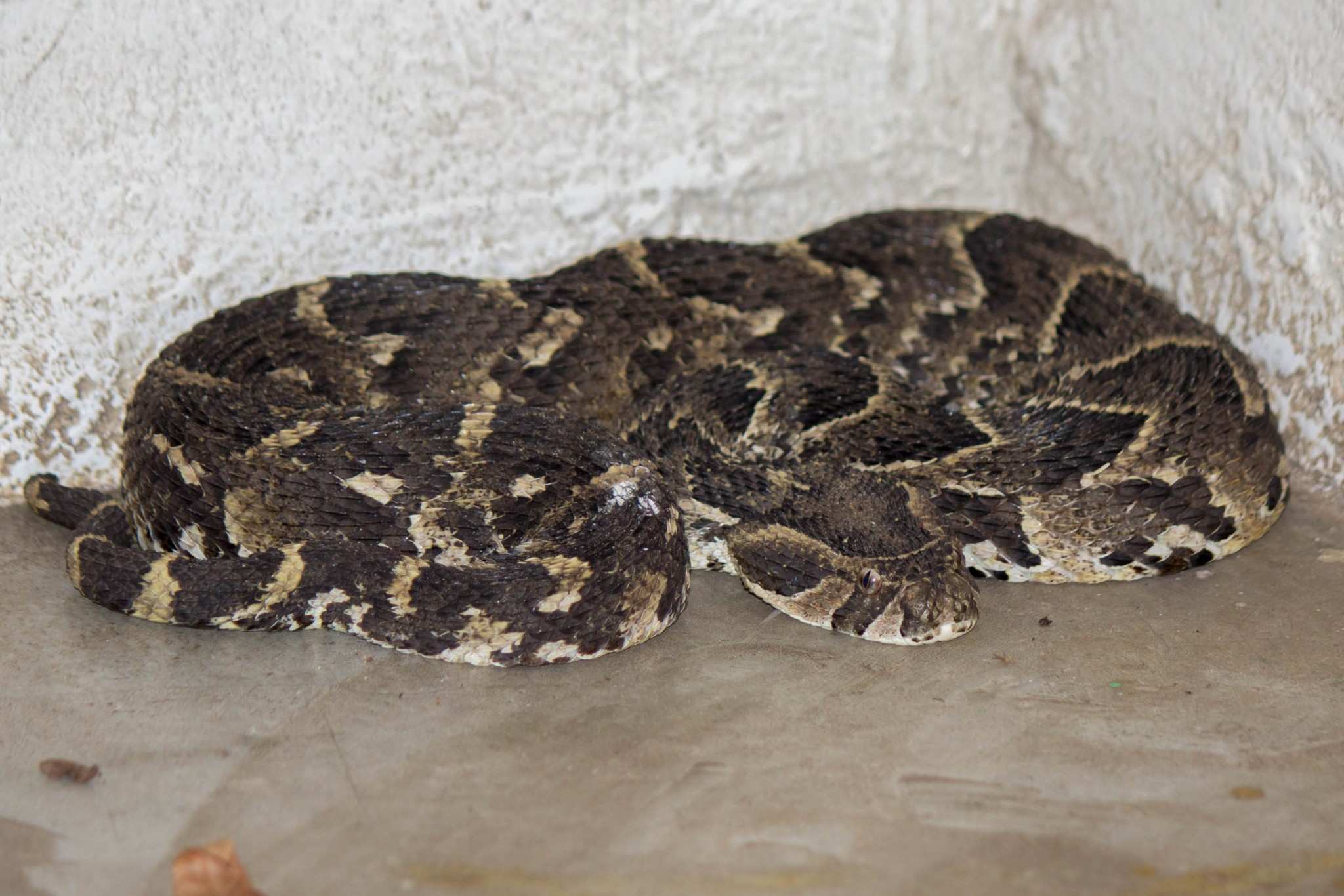 Puff Adder @ Tembe Elephant Park. Photo: Håvard Rosenlund