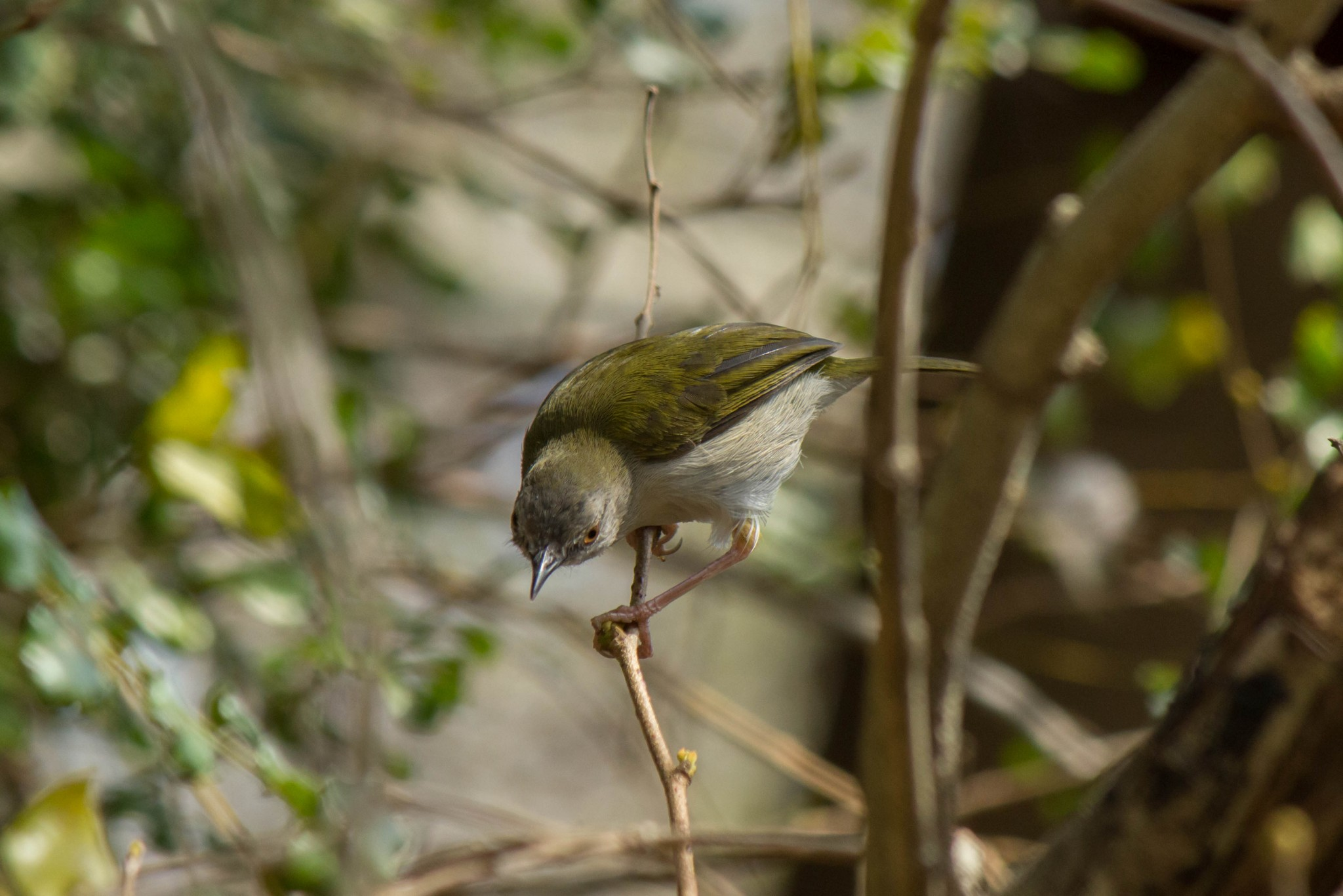 Green-Backed Camaroptera2