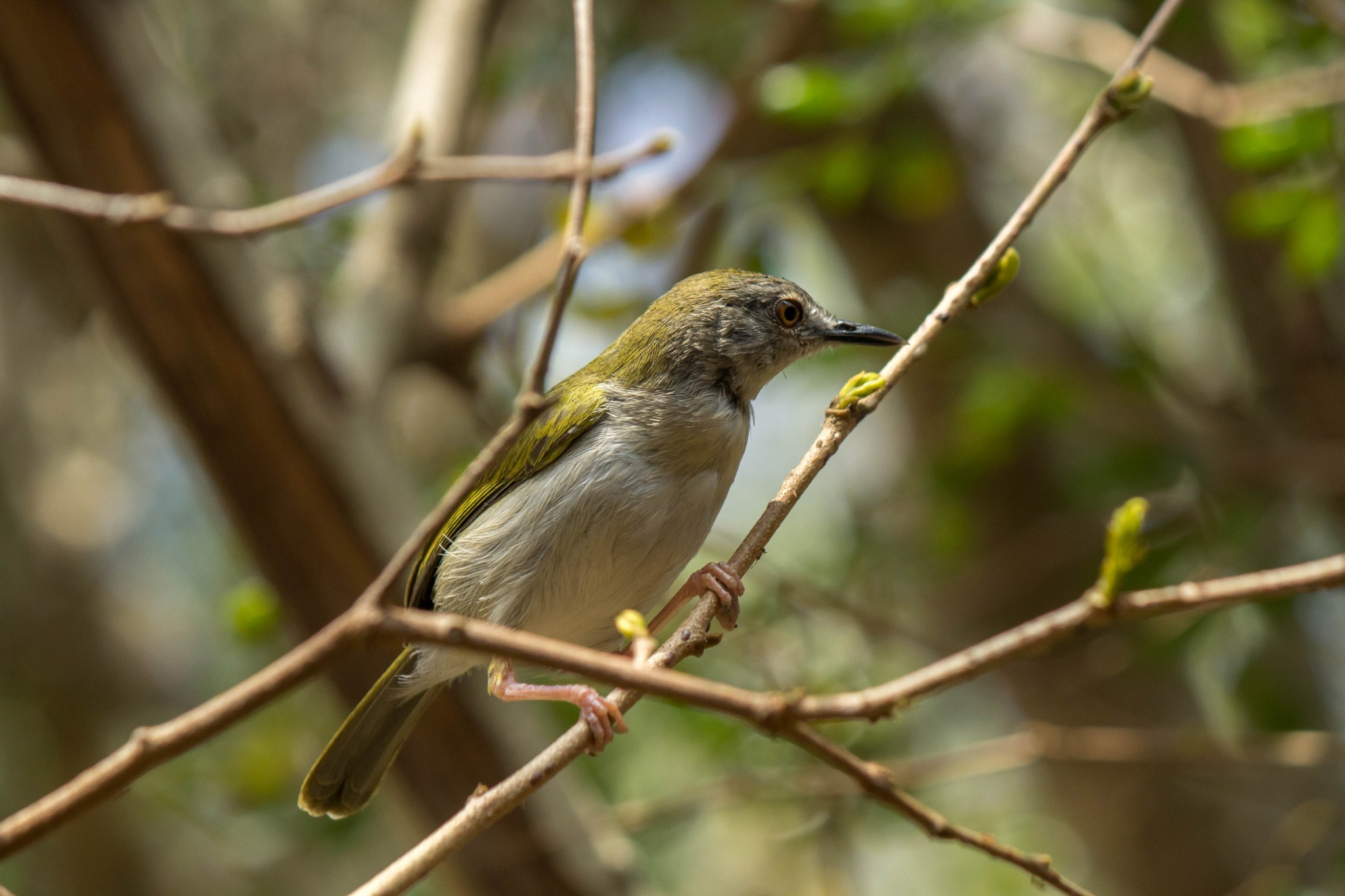 Green-Backed Camaroptera1