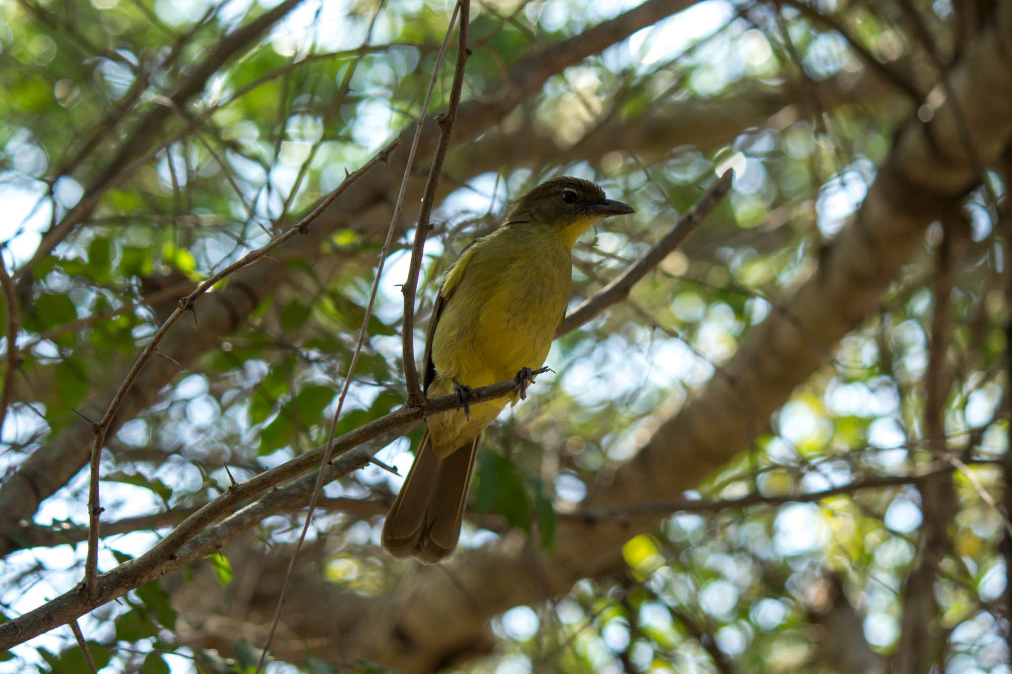 Yellow-Bellied Greenbul1