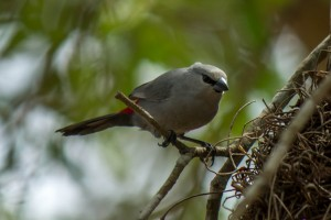 Grey Waxbill @ Tembe Elephant Park. Photo: Håvard Rosenlund