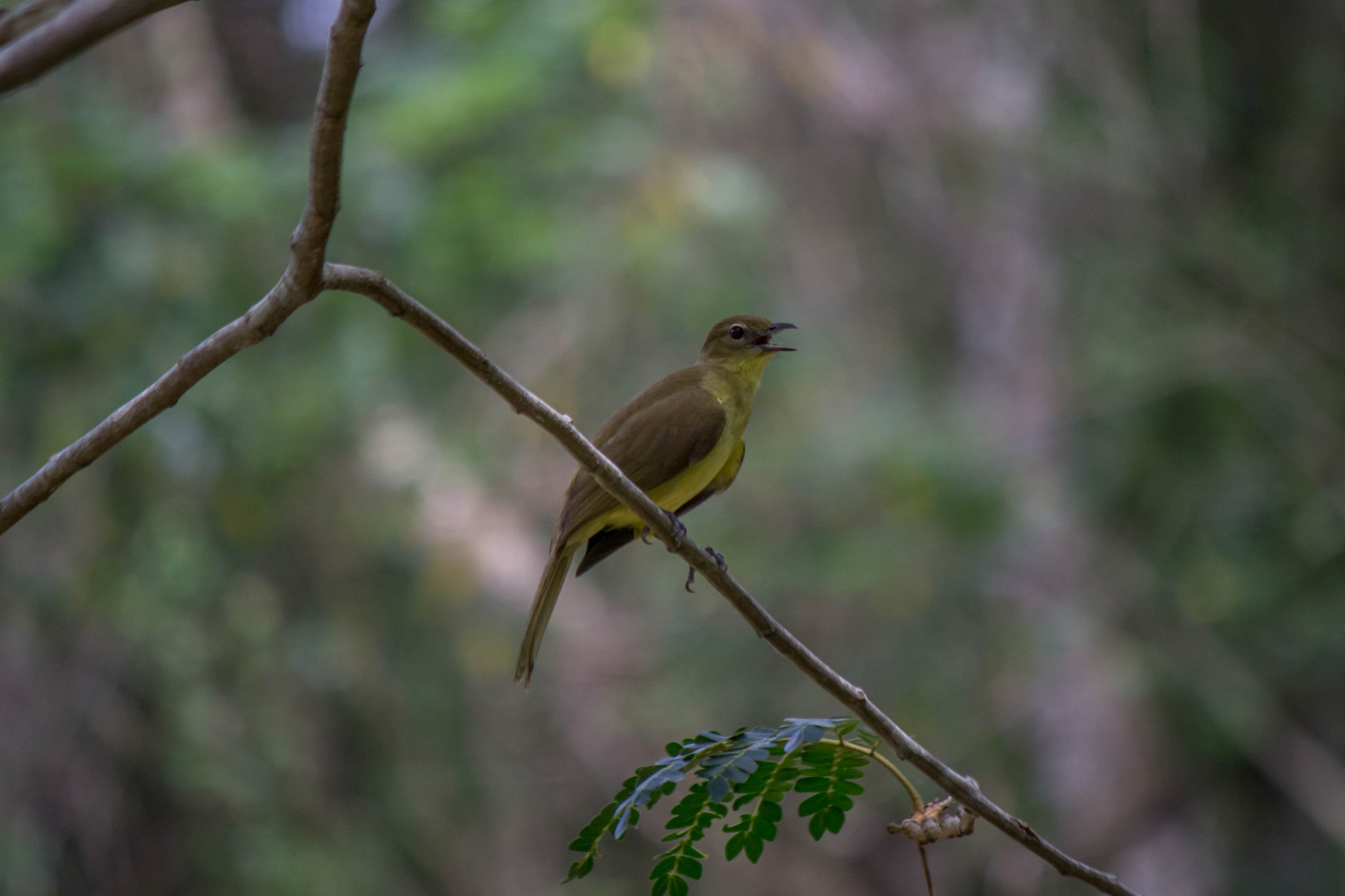 Yellow-Bellied Greenbul3