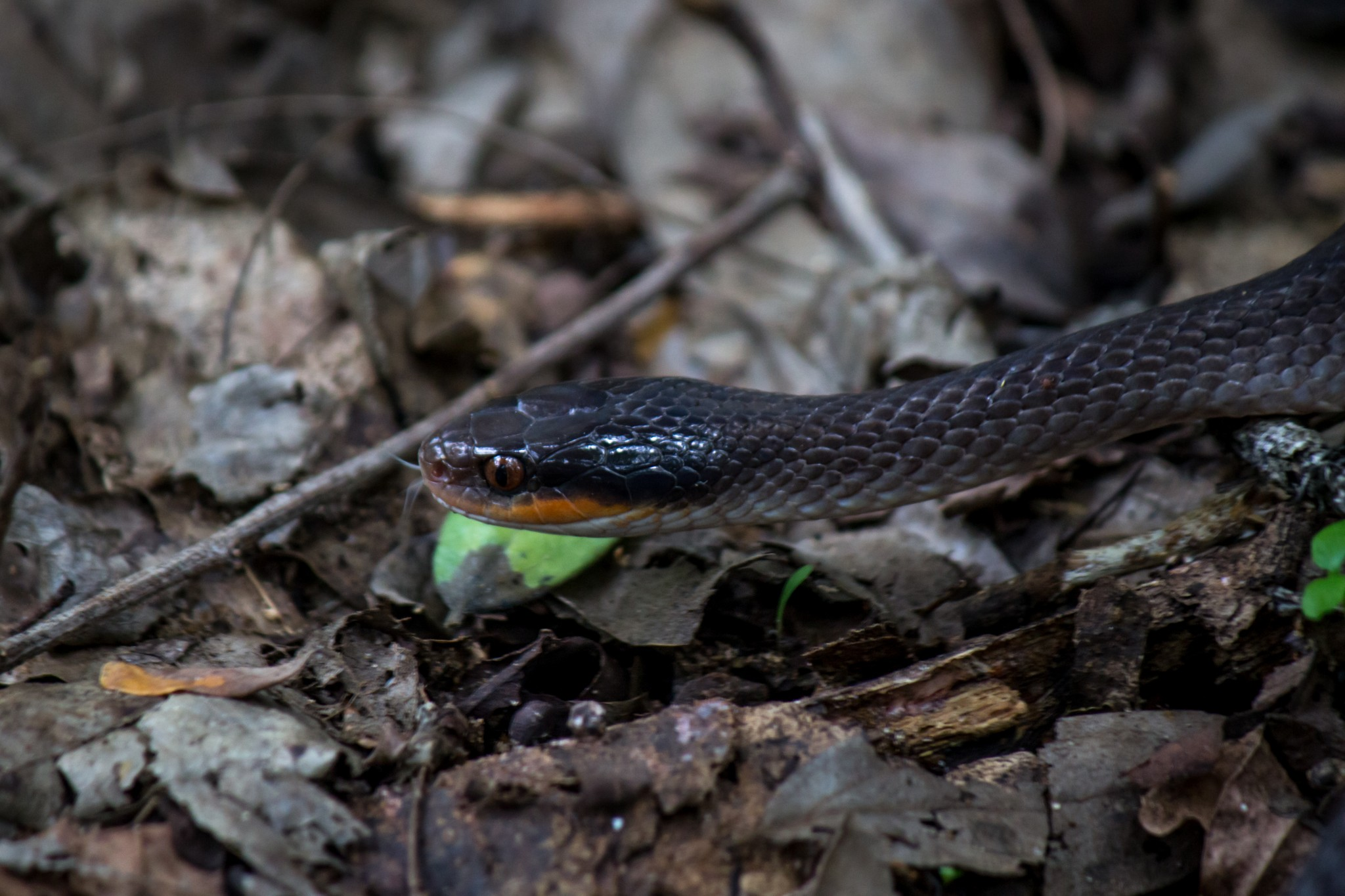 Red-Lipped Snake2
