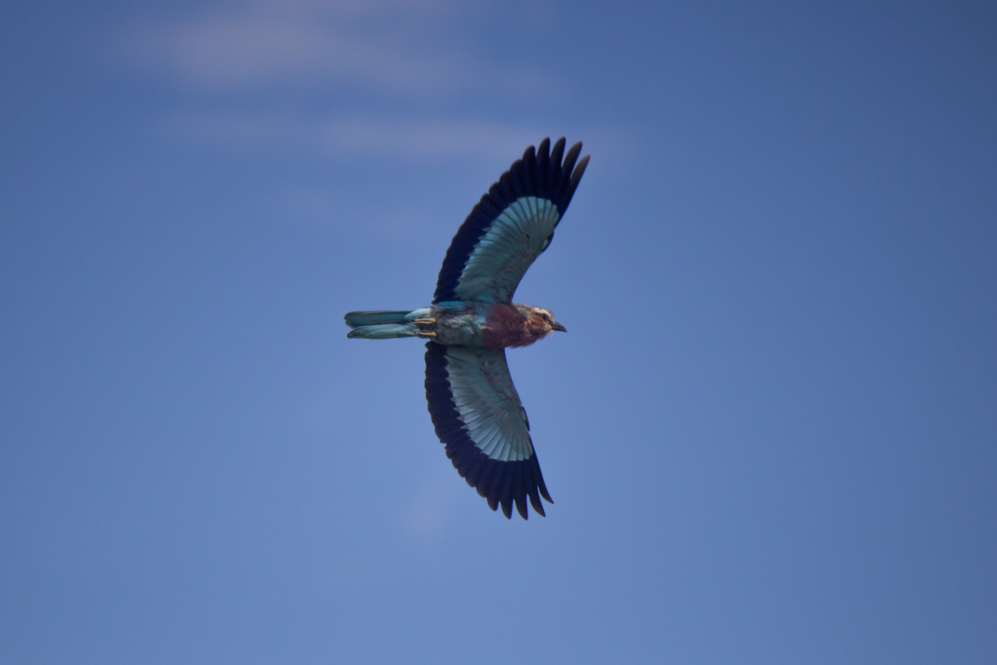 Lilac-Breasted Roller4