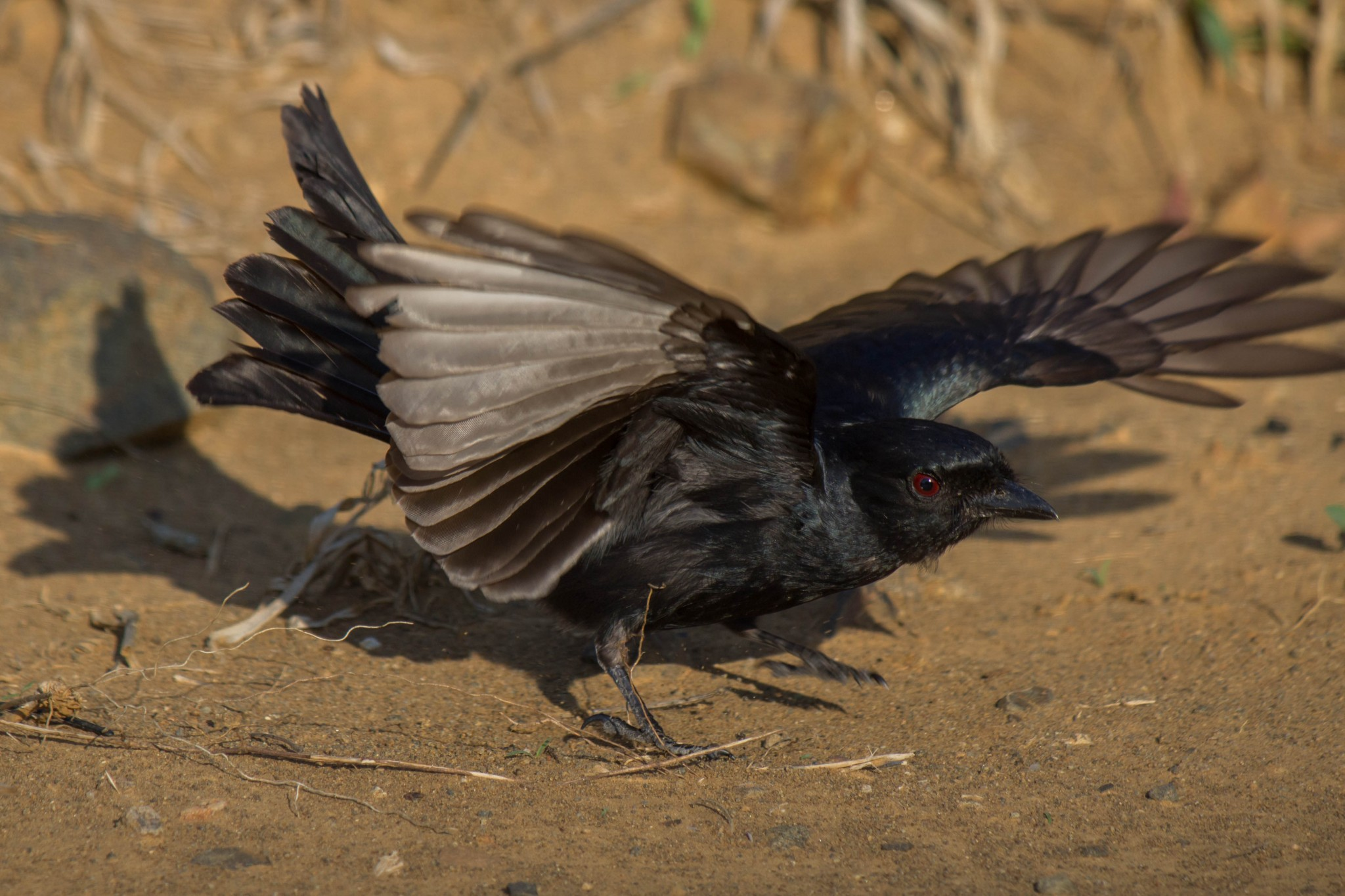 Fork-Tailed Drongo2