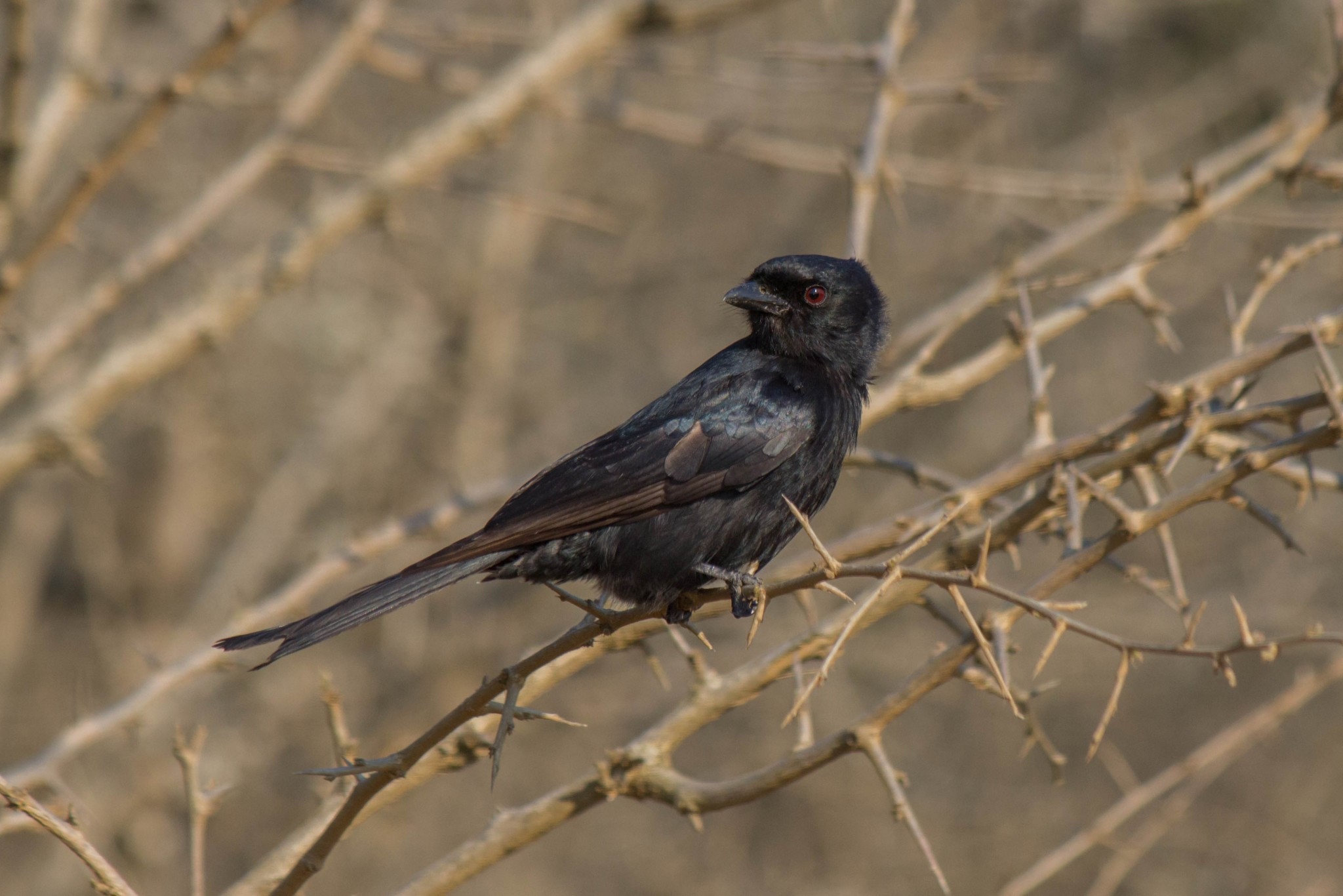 Fork-Tailed Drongo3