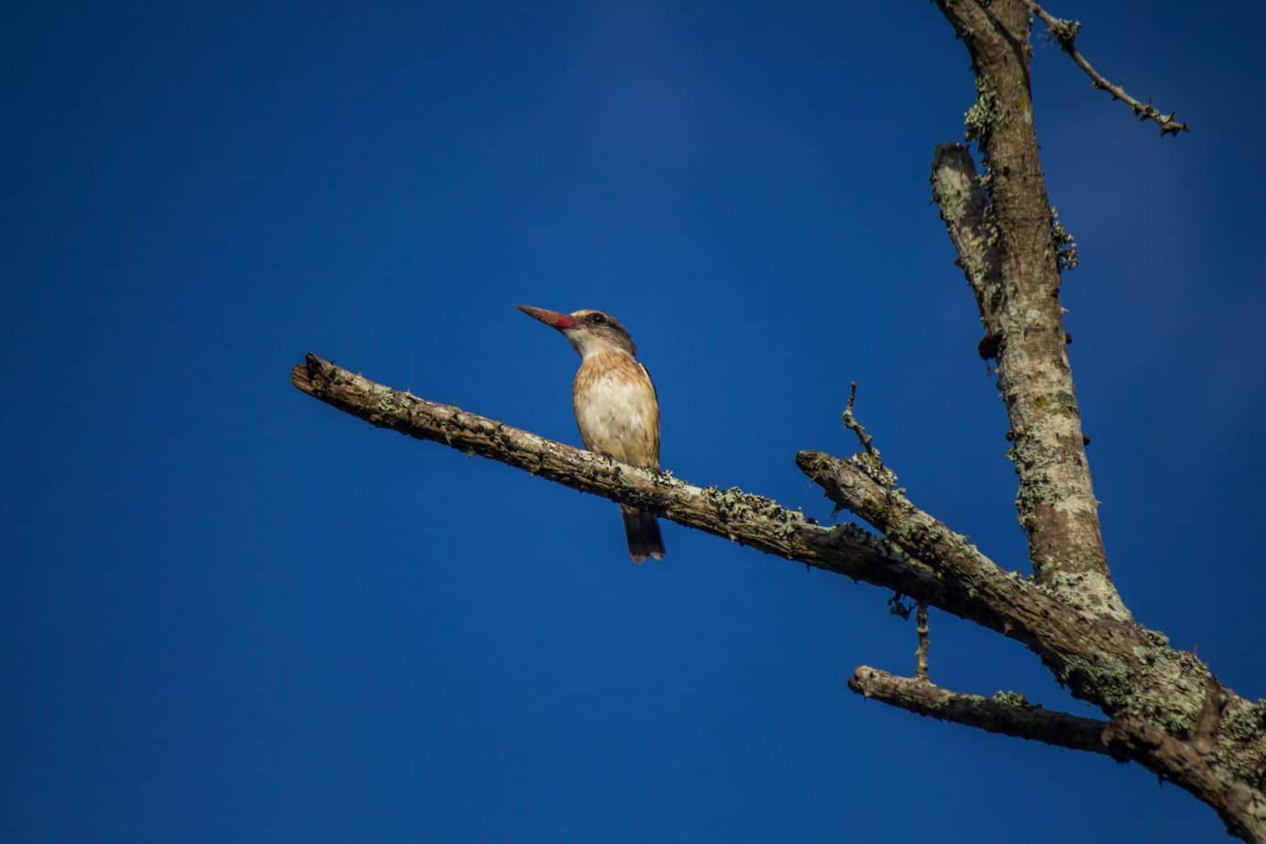 Brown-Hooded Kingfisher4