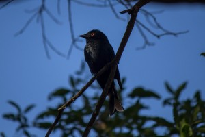 Square-Tailed Drongo @ Tembe Elephant Park. Photo: Håvard Rosenlund