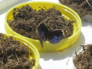 We had to dry most of dung samples for the DNA extraction method we used. For some reason this particular species of butterfly seemed to love elephant dung.
