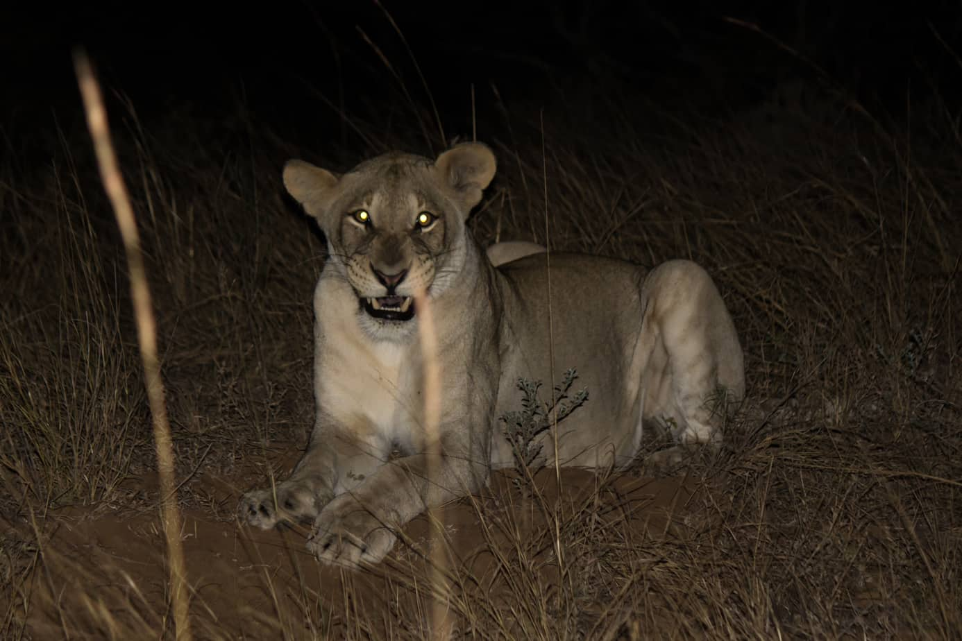 Lion at night @ Tembe Elephant Park. Photo: Håvard Rosenlund