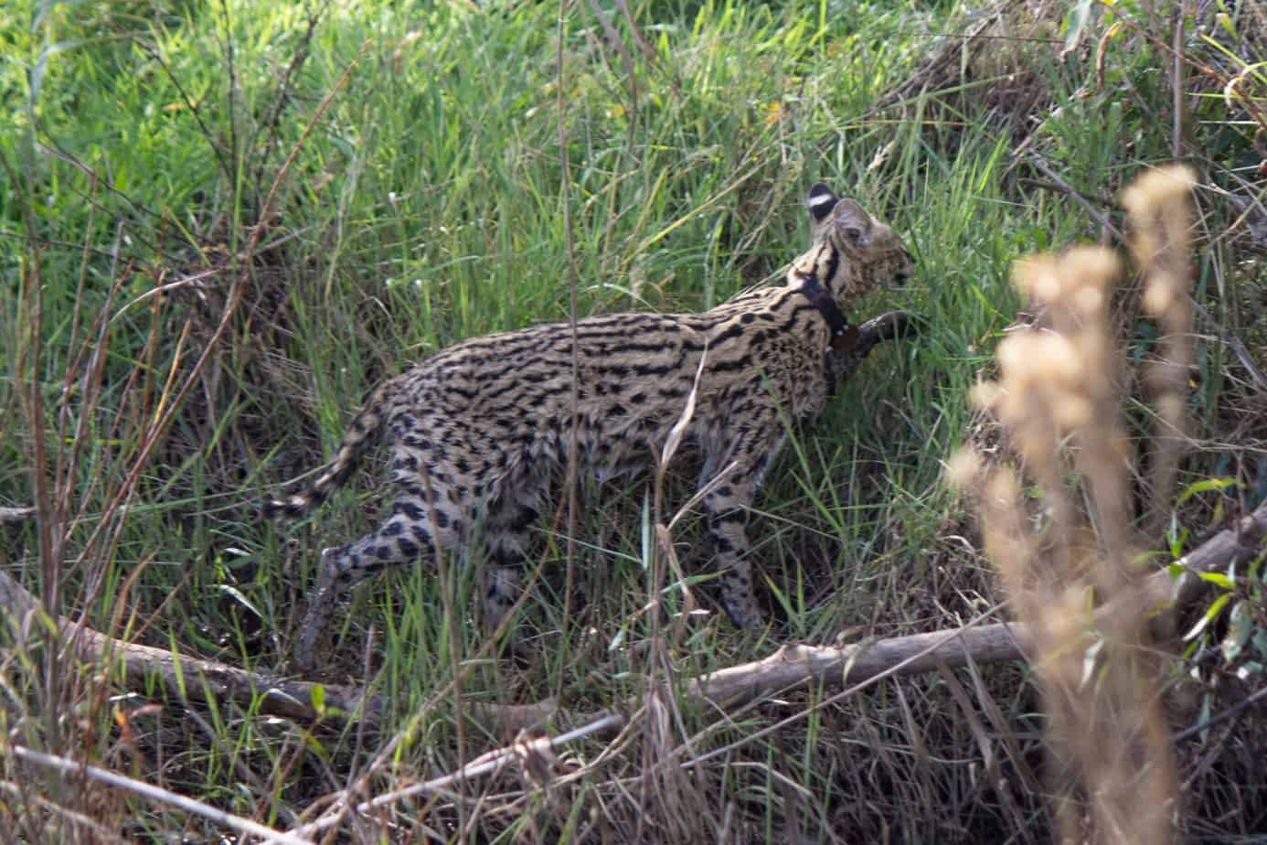 IMG 9070 1 1 - Servals & Caracals, Oh My!