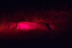 Here is the lioness sleeping soundly at the bait site, blissfully unaware of all it took us to get here there.