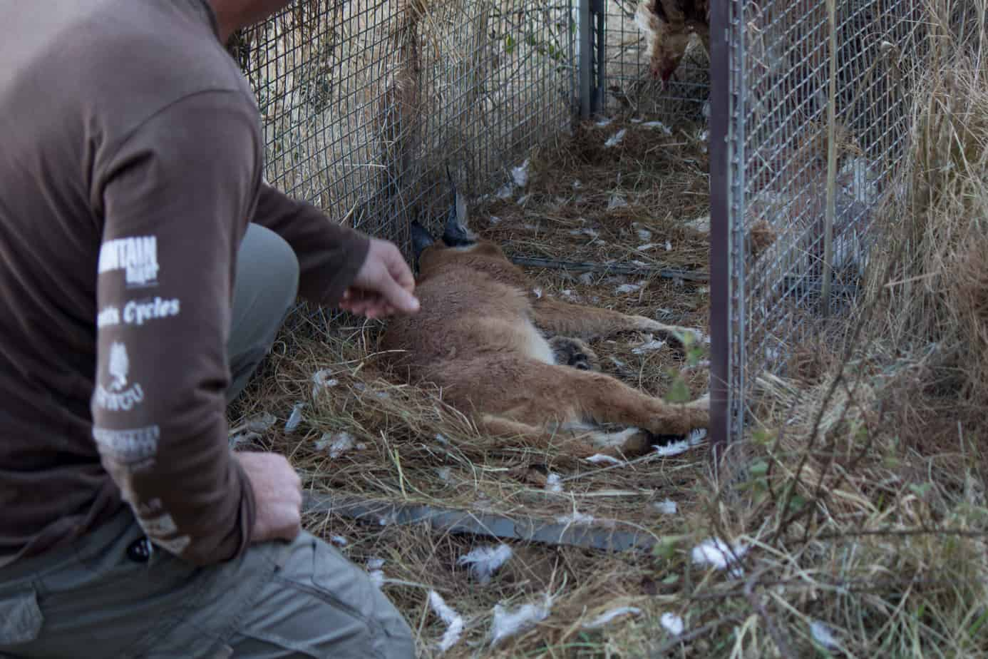 IMG 9797 - Servals & Caracals, Oh My!