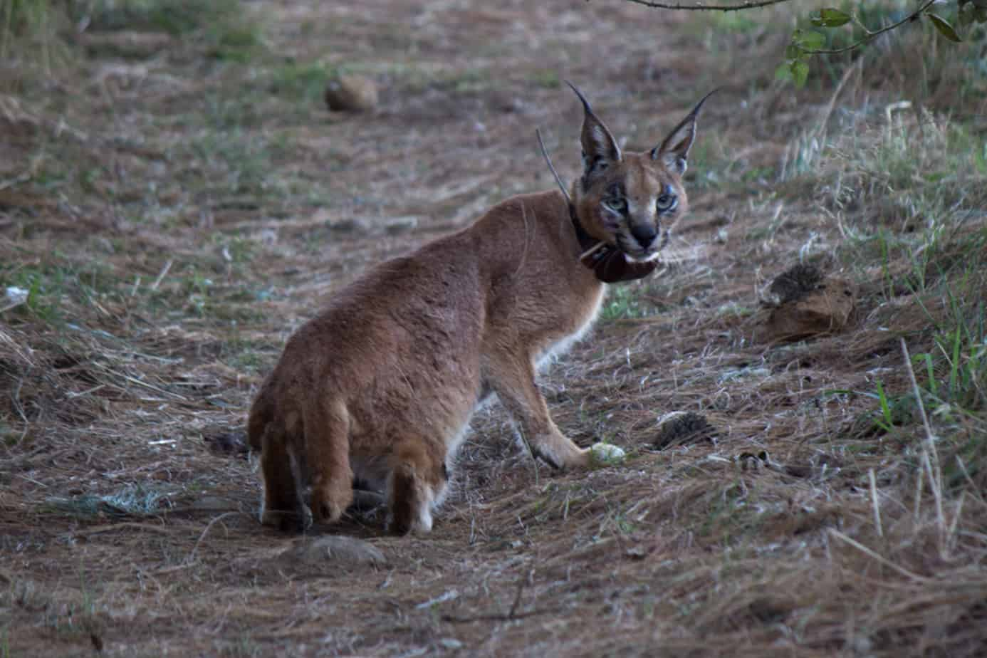 IMG 9880 - Servals & Caracals, Oh My!