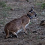 Caracal @ Nottingham Road, South Africa. Photo: Håvard Rosenlund