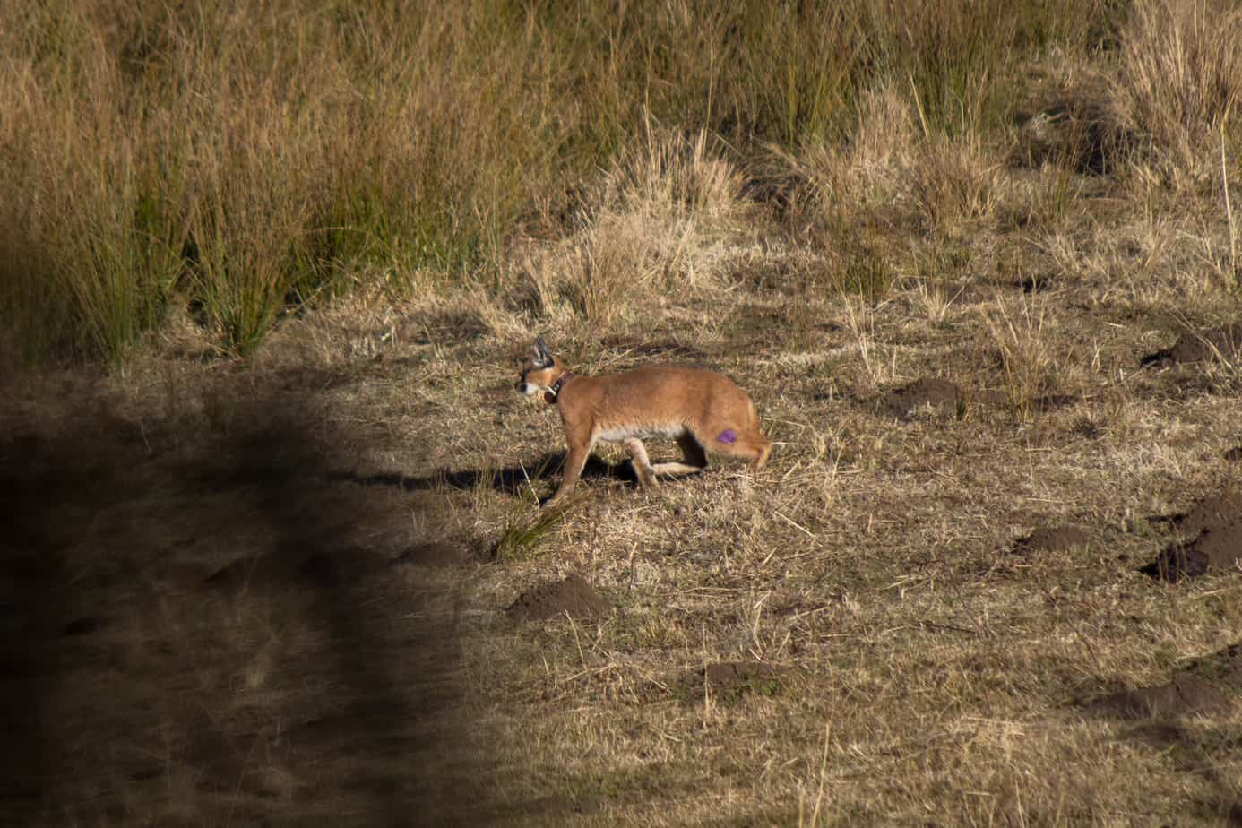 IMG 9909 - Servals & Caracals, Oh My!