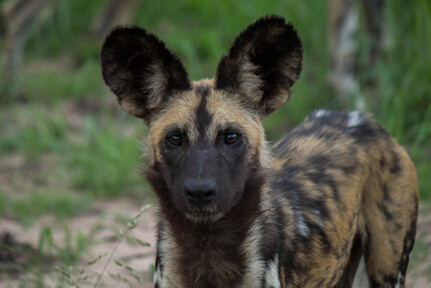 African Wild Dog – Wildlife1