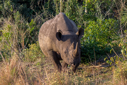 Black Rhinoceros – Wildlife9