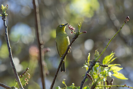 Cape White-Eye – Wildlife4