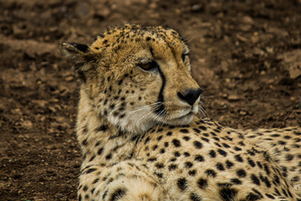 Gepard – Wildlife2