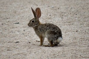 Desert Cottontail @ Sonoran Desert, Arizona. Photo: Håvard Rosenlund