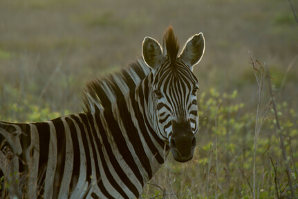 Plains Zebra – Wildlife7