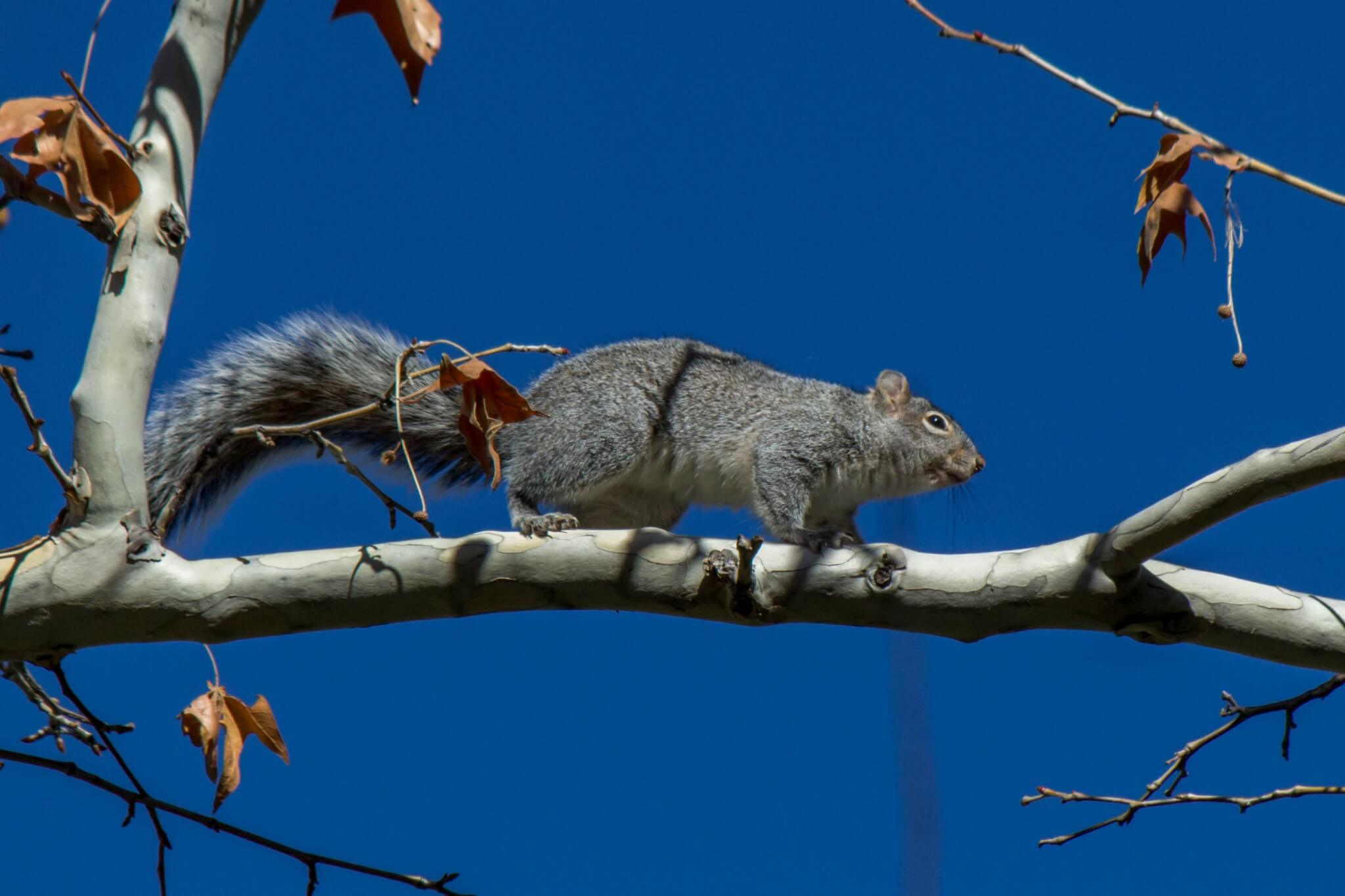 Arizona Gray Squirrel5