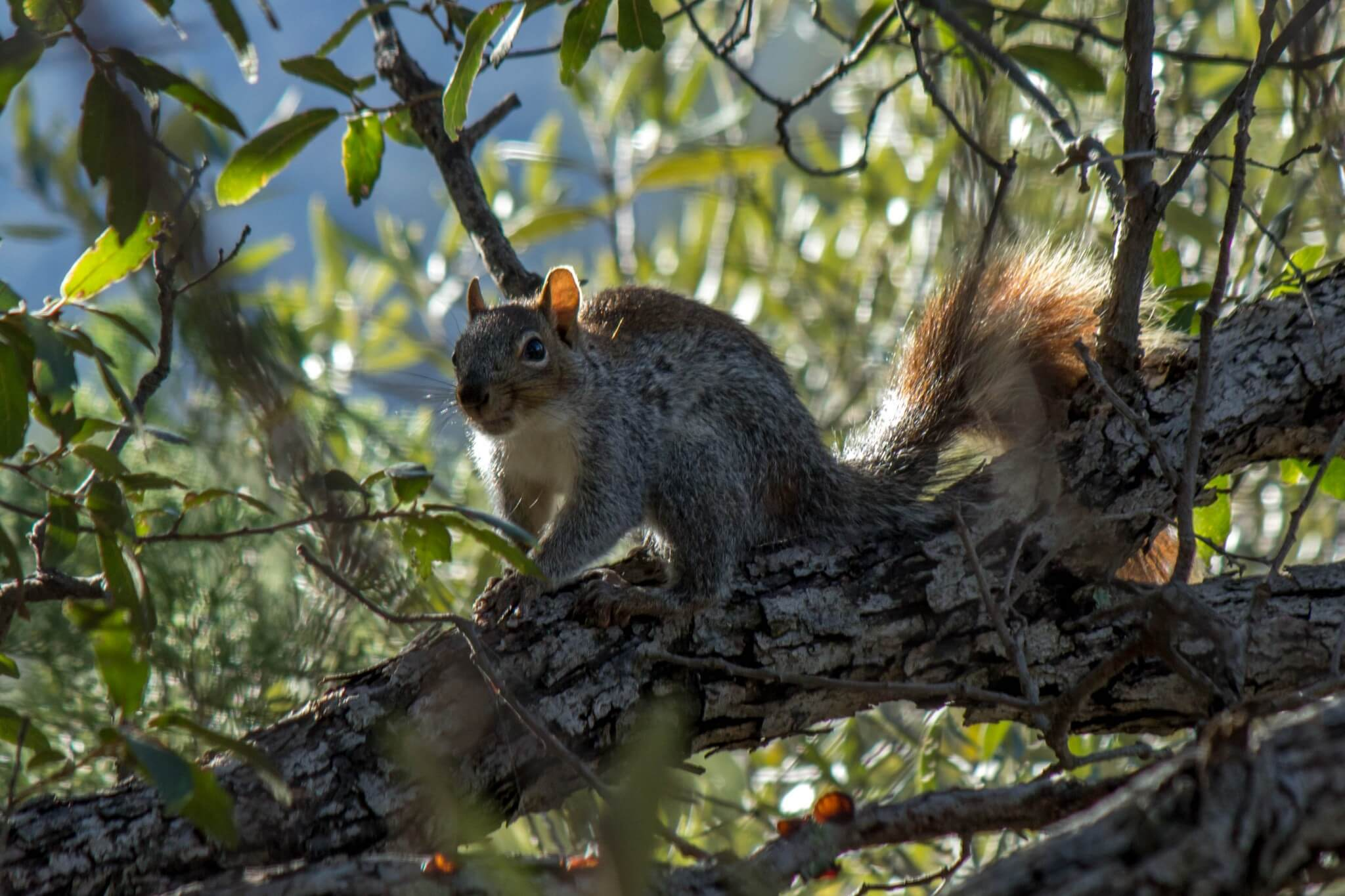 Arizona Gray Squirrel3