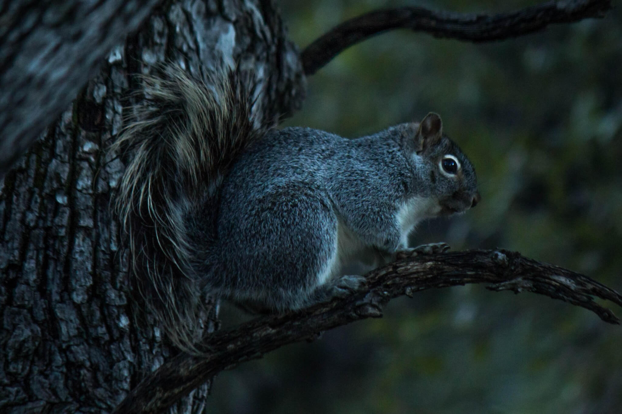 Arizona Gray Squirrel1
