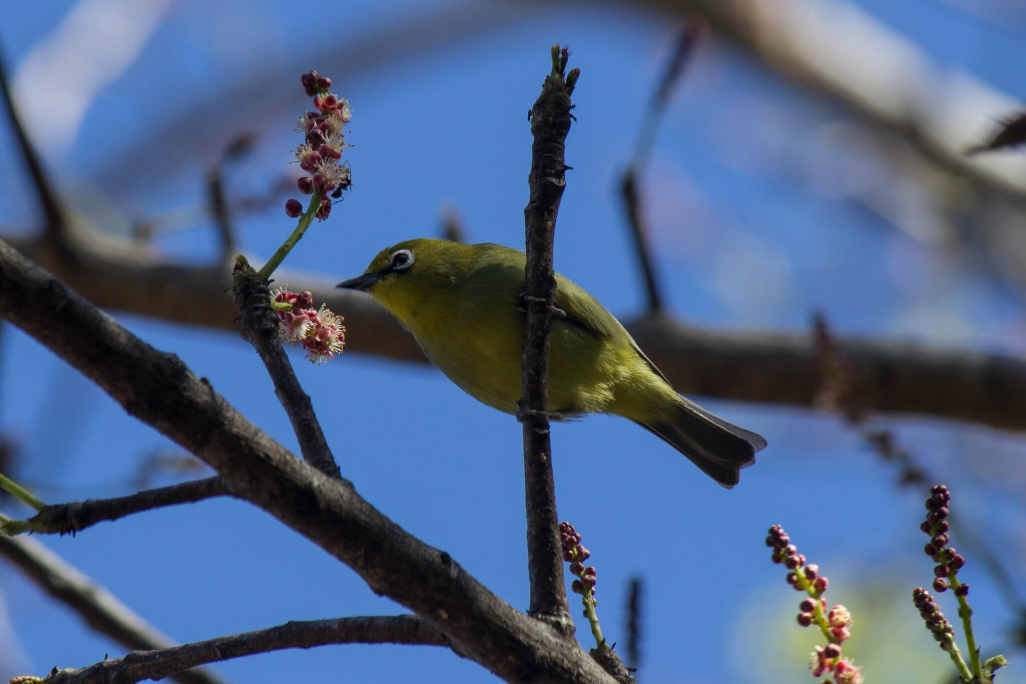 Cape White-Eye2
