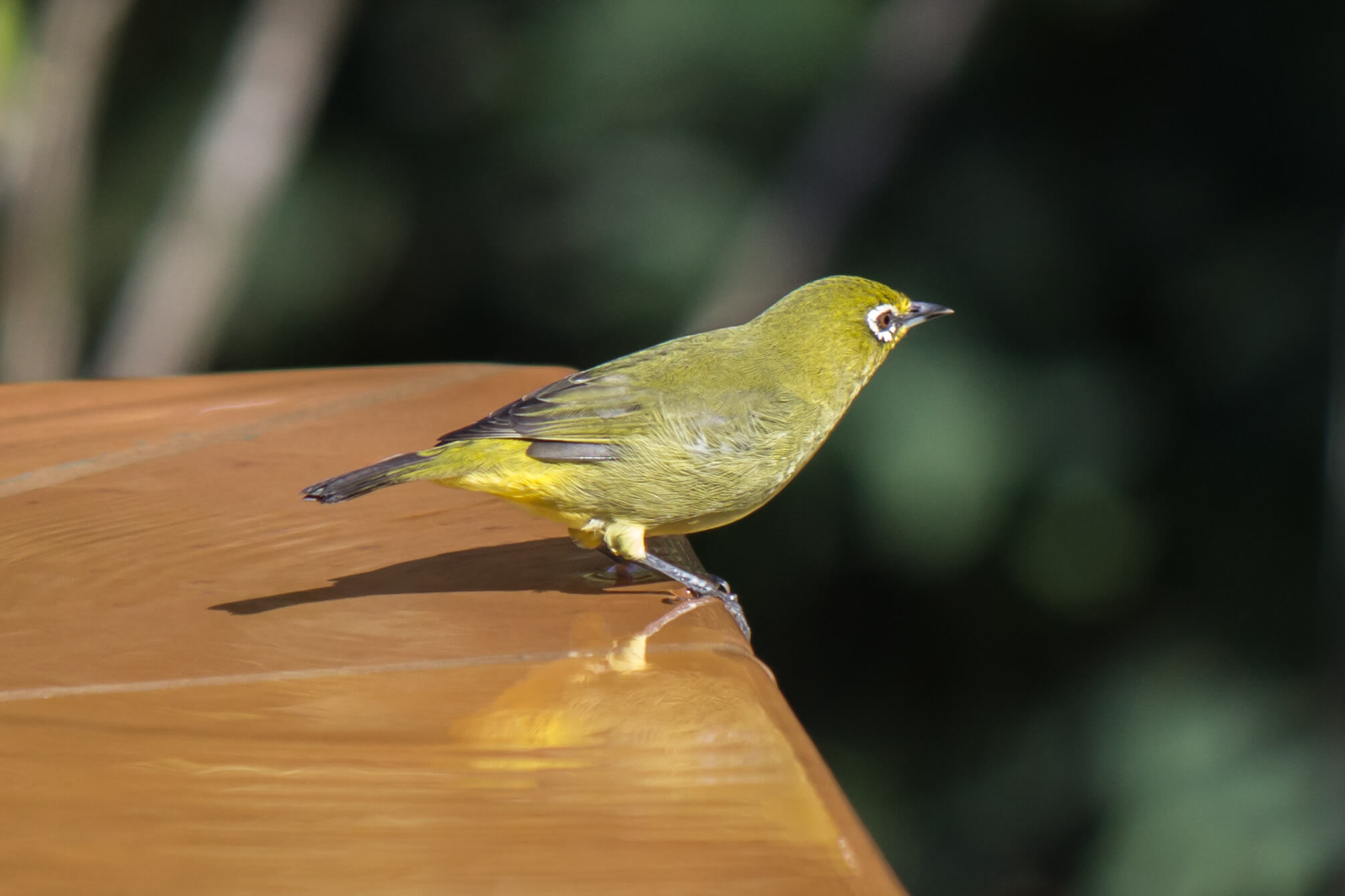 Cape White-Eye3