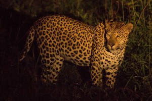 Leopard @ Thanda Private Game Reserve. Photo: Håvard Rosenlund