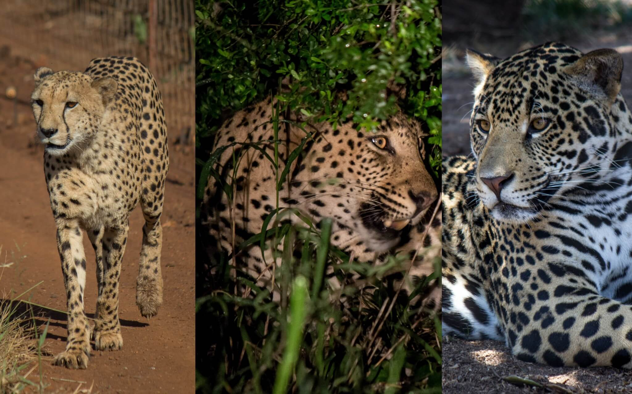 Large Spotted Cats - Cheetah, Leopard, Jaguar