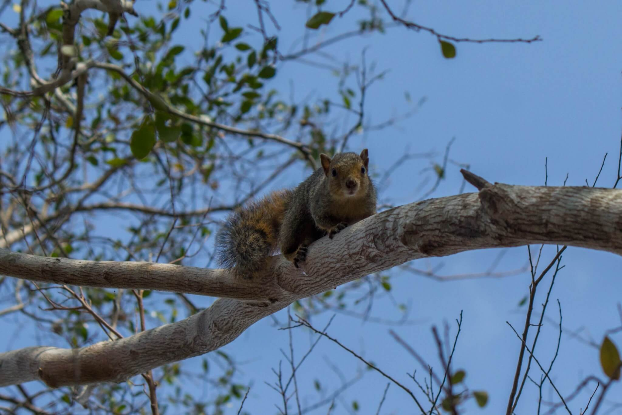 Red Bush Squirrel3
