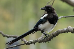 Eurasian Magpie @ Nittedal, Norway. Photo: Håvard Rosenlund