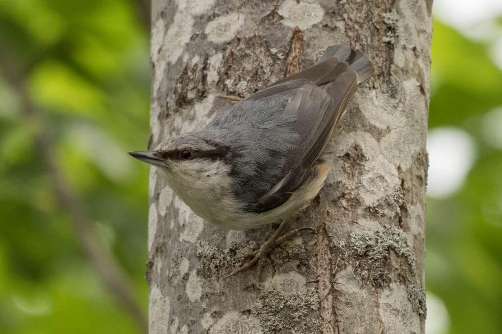 Eurasian Nuthatch @ Nittedal, Norway. Photo: Håvard Rosenlund