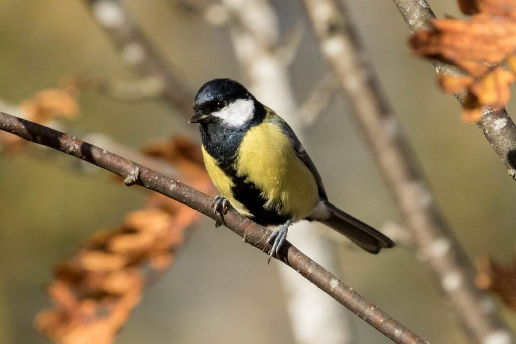 Great Tit @ Nittedal, Norway. Photo: Håvard Rosenlund