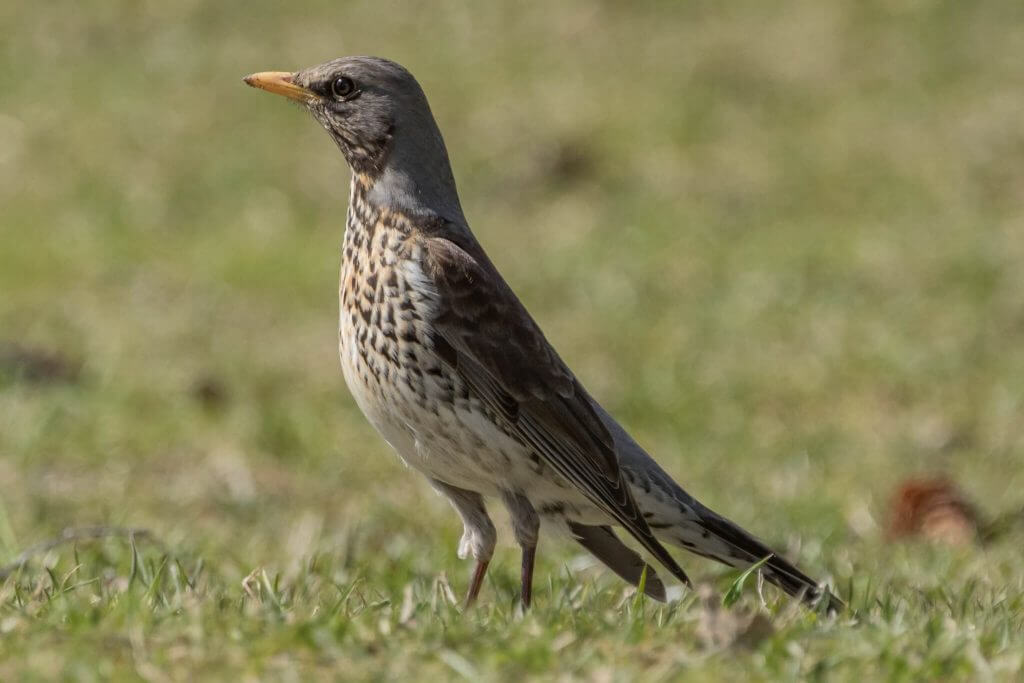 Fieldfare @ Nittedal, Norway. Photo: Håvard Rosenlund